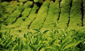 Компания «Адлерский чай» в 2013 году отметила 73-летие