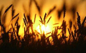 Кубань бьет рекорды по сбору урожая