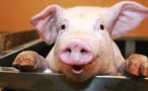 Спасение свиноводства Кубани с помощью мегакомплексов
