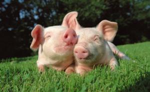 На Кубани внутренний резерв по производству свинины достигает 400 тыс. тонн в год