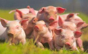 В марте запланировано открытие второй очереди свиноводческого комплекса Кубани