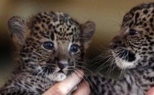 Владимир Путин за рулем «Нивы» приехал в сочинский Центр разведения леопардов