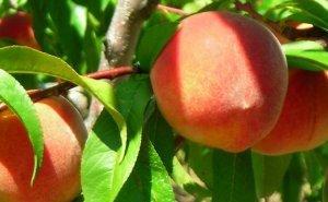 Аграрии опасаются, что из-за заморозков Кубань может остаться без урожая персиков и алычи
