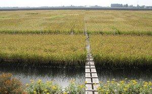 Рисоводы Краснодарского края будут сотрудничать с учеными
