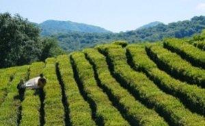 Чайные плантации Сочи — уникальное место в России