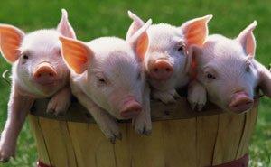 Животноводам Кубани напоминают об опасности распространения вируса африканской чумы свиней