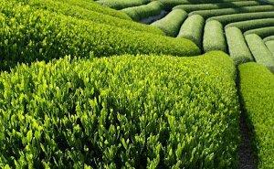 Чай, выращенный в Сочи, получил международный сертификат экологически чистого продукта