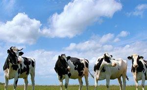 На Кубани начато воспроизводство высокопродуктивных коров