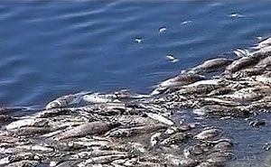 На Кубани за несколько часов погибло свыше 20 тысяч особей разных видов рыбы