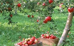 Запрет на ввоз яблок из Польши только на руку кубанскому производителю