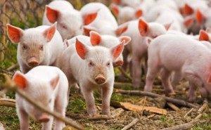 Из-за санкций животноводство, птицеводство и сахарная отрасль Кубани пострадают вероятнее всего