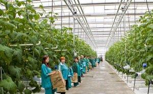 Площадь теплиц на Кубани планируют расширить до 500 га