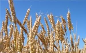 На Кубани объём экспорта пшеницы увеличился в 7 раз