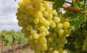 Не менее 30 тысяч тонн винограда планирует в этом году собрать