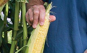 Кубань подсчитывает потери урожая кукурузы