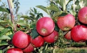 Кубанские яблоневые сады продают известному бизнесмену Геннадию Тимченко