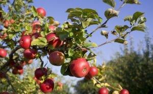 На Кубани до конца года садоводство получит 24 млн господдержки