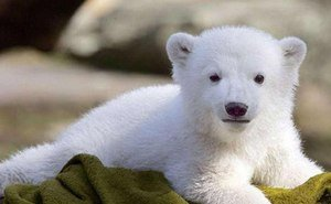 Чудом спасённый белый медвежонок-сирота нашёл приют в