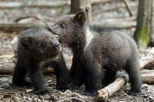 Медвежонка-сироту приютил