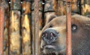 Хозяин сочинских медведей теперь размышляет, как от них избавиться