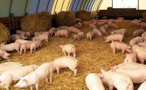 На Кубани возродят свиноводческую отрасль, уничтоженную африканской чумой свиней