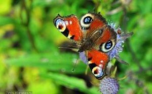 Эксперты WWF опасаются, что китайские мушки будут уничтожать, наравне с огнёвкой, и ценных бабочек