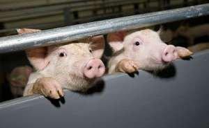 На Кубани возрождается один из крупнейших свинокомплексов