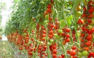 До 2018 года Кубань должна нарастить объёмы тепличных овощей до 100 тысяч тонн в год
