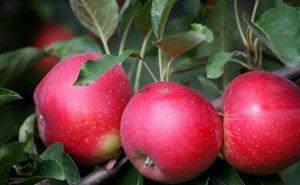 В 2015 году субсидии на развитие садоводства Краснодарского края составят 400 млн рублей