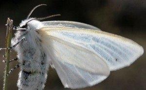 На борьбу с американской бабочкой-вредителем в Сочи выделили около 3,2 млн рублей
