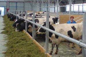 Особенности разведения скота на ферме