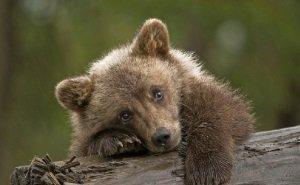 В Анапе на циркачей, возивших по жаре медвежонка на капоте машины, написали заявление в полицию