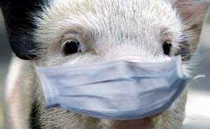 На Кубани жгут свиней, пытаясь избежать чумы