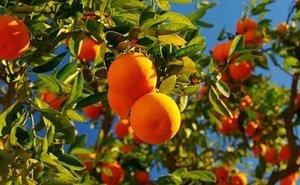 Пустующие чайные плантации Сочи отдают под выращивание цитрусовых