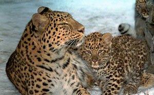 Восстановление популяции леопарда сегодня зависит от решения Минприроды