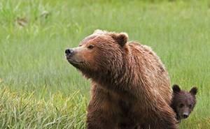 В Сочи дикие медведи нападают на туристов