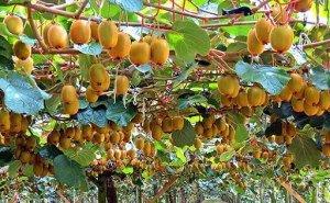 В Сочи начался сбор урожая киви