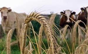 На Кубани есть ферма, на которой коров доят роботы