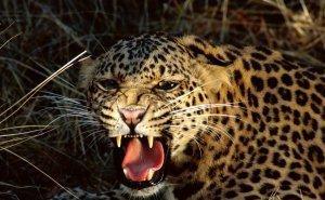 Сочинцы боятся леопардов, которых планируют выпустить у Красной Поляны