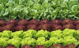 Выращиванием салата на Кубани заинтересовались итальянцы
