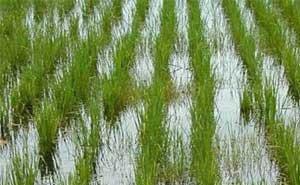 Кубани безвозмездно передали 10 тыс. га рисовых полей