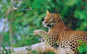 Часть туристов отказываются от Сочи из-за выпущенных на волю леопардов