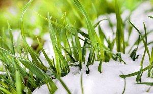Мартовские заморозки на Кубани не сказались на посевной