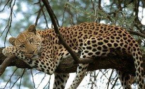 Сочинских леопардов скоро выпустят на свободу