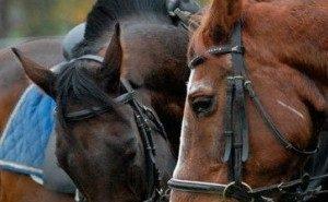 На возрождение кубанского коневодства выделяют 22 млн рублей