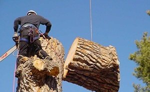 Власти Сочи объяснили спил гагаринского кедра «недоразумением»