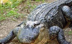 Туристы на Кубани наткнулись на труп крокодила-людоеда