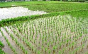 На Кубани начали готовить рисовые чеки к посевной