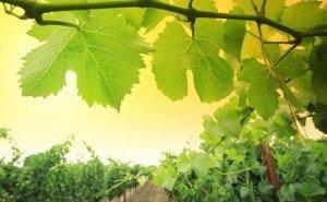 В Сочи началось цветение винограда
