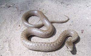По Новороссийску свободно ползают змеи